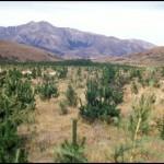 pest-tree-pines